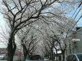 八ヶ崎の桜並木
