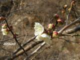 桜はまだかたいつぼみ