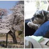 しずかな桜